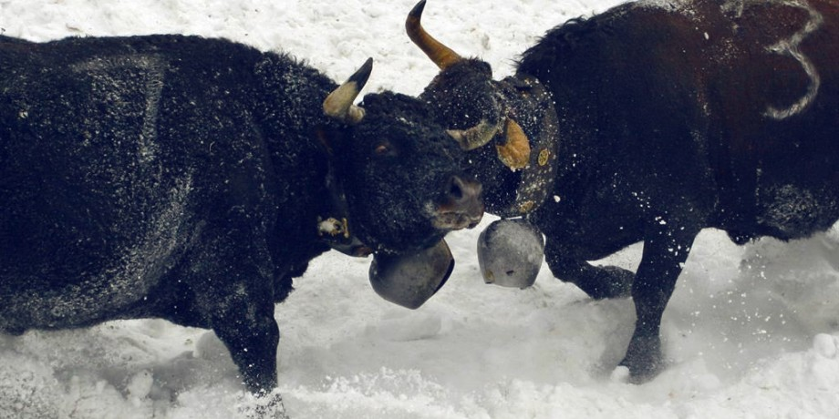 Valais Cow Fights in Snow
