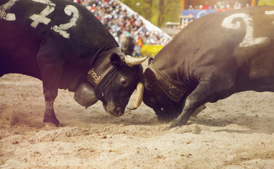 Cow fight in Aproz, Valais