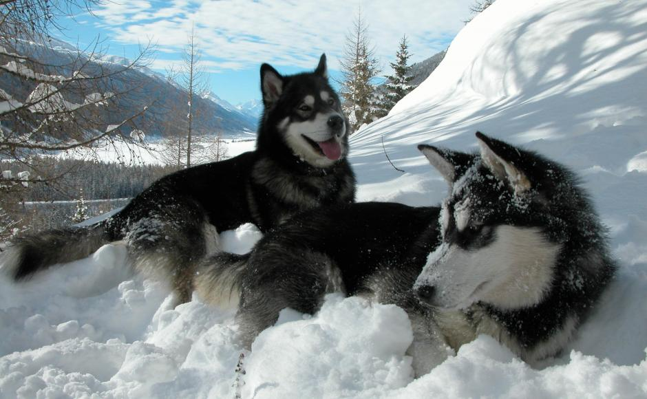 Dog Sledding in Oberwald