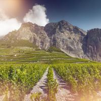 Wineyard in Chamoson, enotourism, wine, Valais, Switzerland