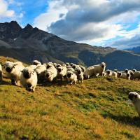 Black nose sheep in Valais