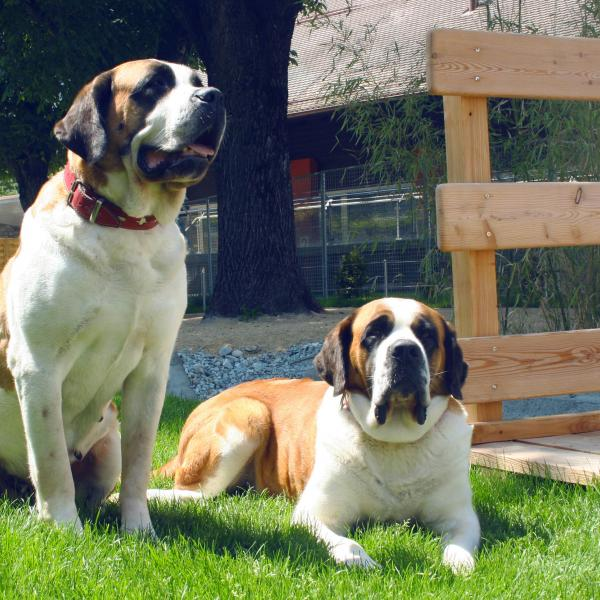 St Bernard dogs, Valais, Martigny, Fondation Barry