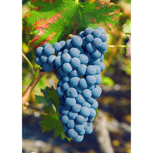 Cornalin grape in Valais