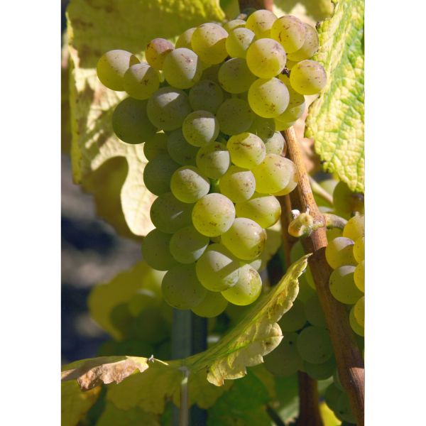 Heide grape in Valais