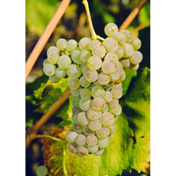 Petite Arvine grape in Valais