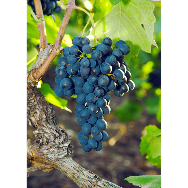 Syrah grape in Valais