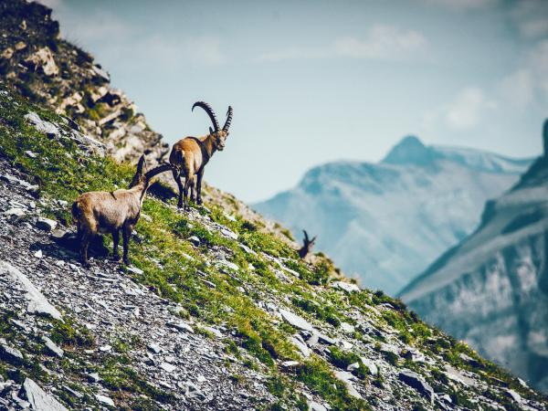 Chamois in Valais, wild animal