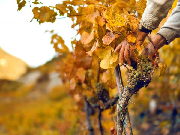 Winegrower grape gathering, vines in Valais