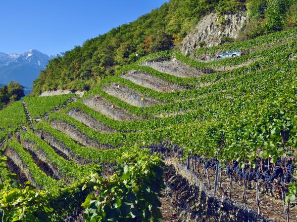 Terraced vineyards, Fully, Valais