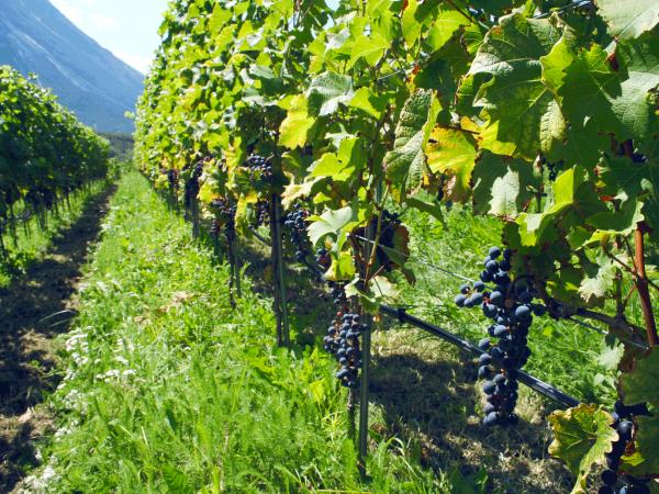Viticulture of the Future, Turtmann, Valais